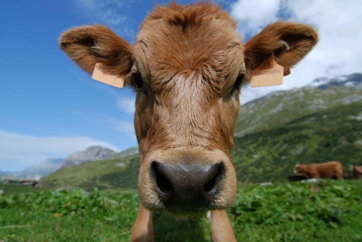 funny calf